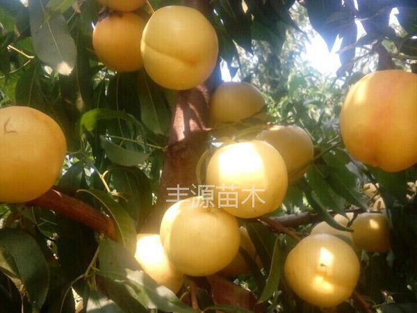 潍坊晚黄金桃苗想要优惠的晚黄金桃苗就来丰源果树种苗合作社