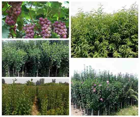果树苗哪里有山东大型果树苗基地13176835432
