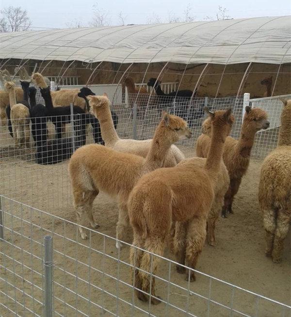 矮马场羊驼场动物园珍禽天津