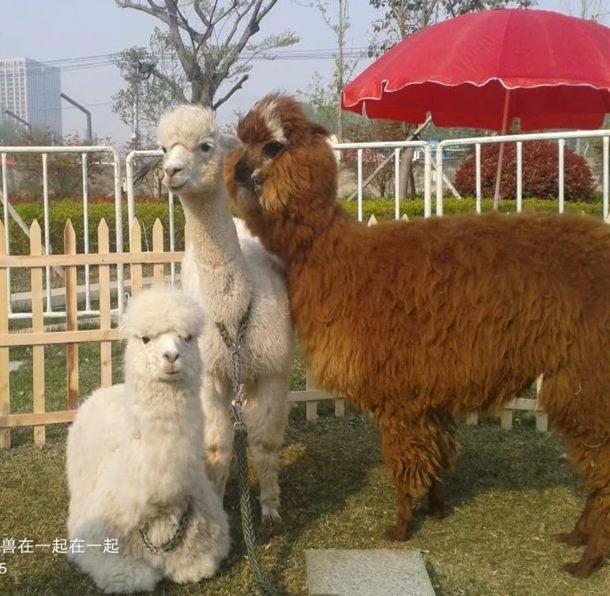 动物马戏表演,羊驼出租
