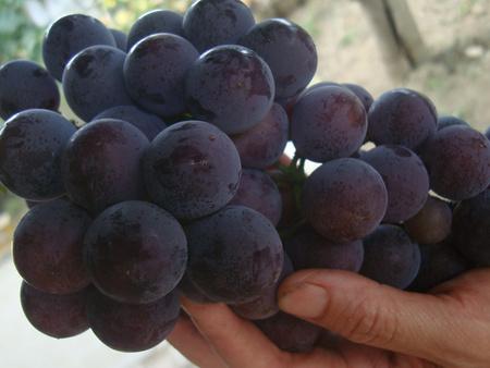甬优一号葡萄苗栽培技术指导在哪能买到精品甬优一号葡萄苗