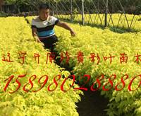 金叶复叶槭30万
