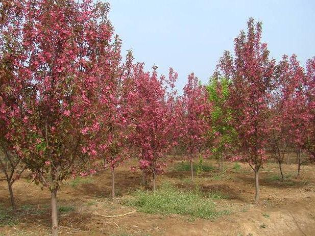 绚丽海棠树报价,易种植的绚丽海棠