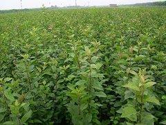 【成活率高】扬州流苏苗木基地直销苗木质量上乘、行业强推