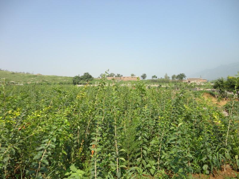 【新品】四川流苏小苗种植基地新种植苗木、更放心