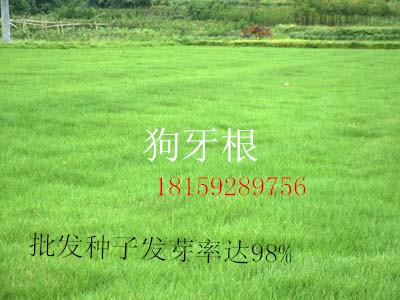 湖南进口绿化工程专用草种无虫害杂草特惠供应