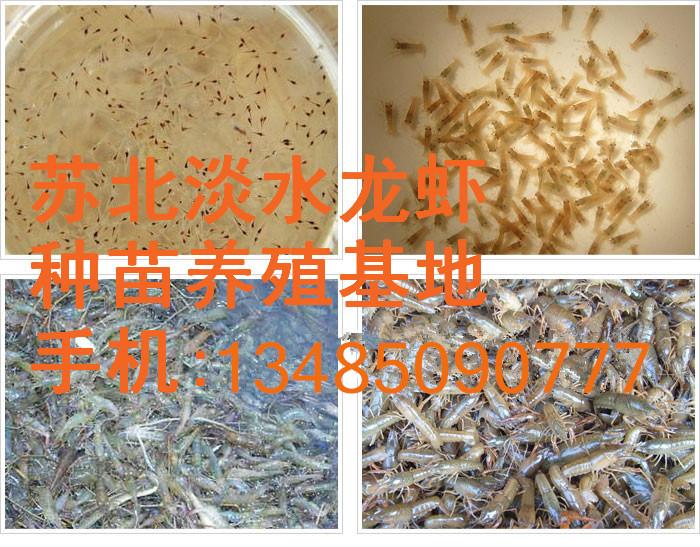 淡水龙虾苗价格 龙虾苗批发 龙虾苗养殖基地