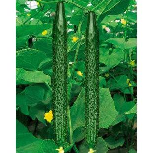 山东批发大黄瓜种苗的公司、蔬菜种苗厂家招商