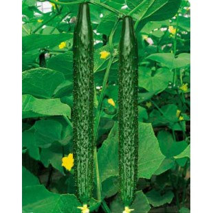 山东卖小黄瓜种苗的厂家、黄瓜种苗厂家招商