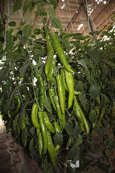 寿光尖椒种苗经销商、尖椒种苗出苗壮、苗木质量优异