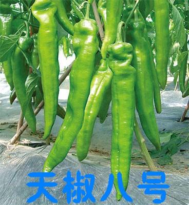 山东批发尖椒种苗的公司、尖椒蔬菜种苗厂家凯发娱乐销售