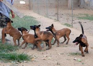凤凰品种犬多少钱一只