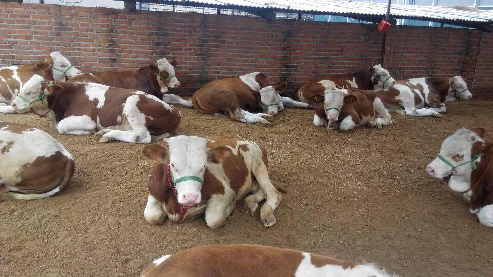 东北改良肉牛犊良种牛犊价格 东北改良黄牛犊良种牛犊行情 东北良种牛养殖交易市场价格