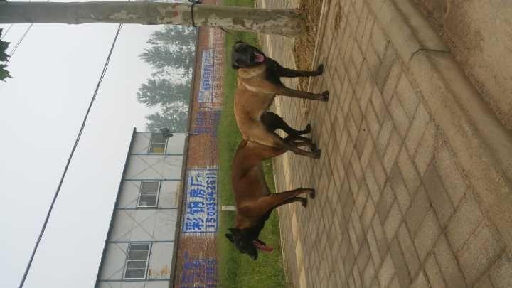 宣威地区卖东德小狼狗的纯黑牧羊犬