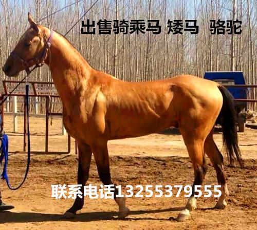 能骑的骑乘马多少钱一匹东河区哪里卖马信誉高