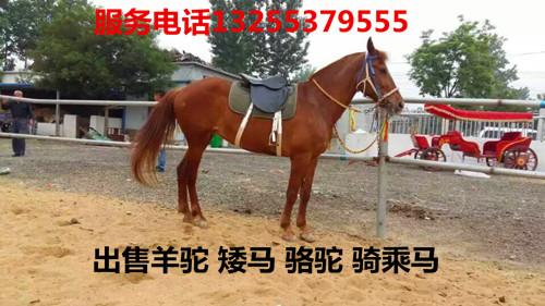 能骑的骆驼多少钱一匹昆都伦区哪里卖马信誉高