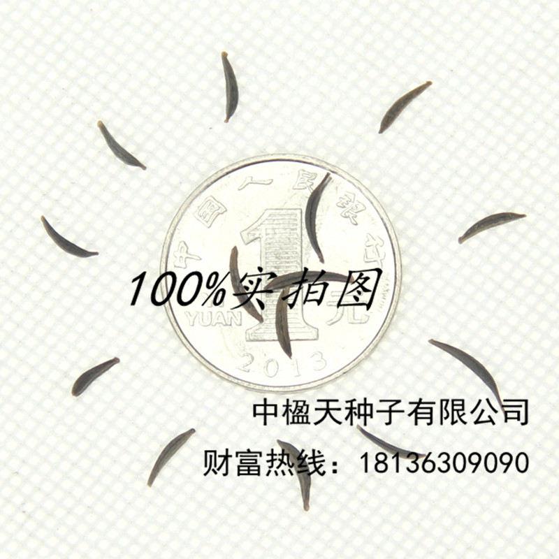 农庄花海种植进口锦葵