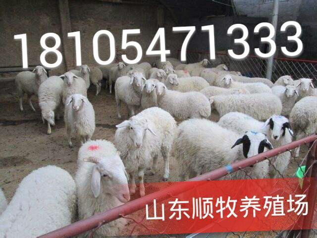 养羊初次养羊前需要准备哪些工作