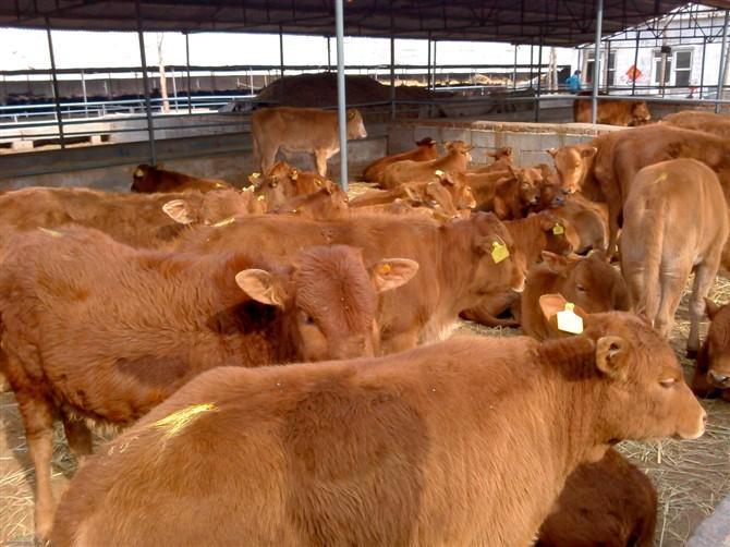 临沧夏洛来牛种牛、怎么出售的