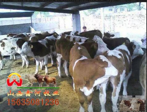 山西省肉牛养殖_山西肉牛_肉牛养殖_肉牛价格_山西鑫河牧业公司