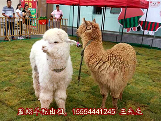 黑龙江省羊驼青青青免费视频在线活动