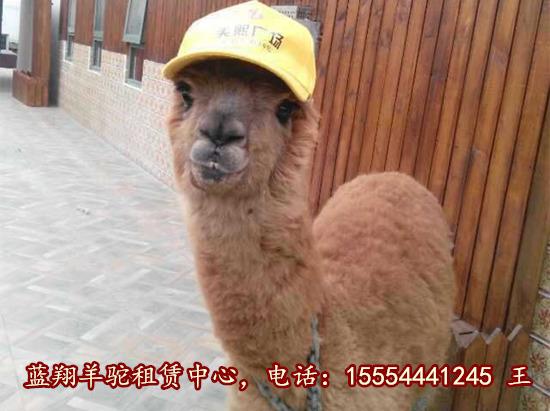 庆阳市租赁羊驼