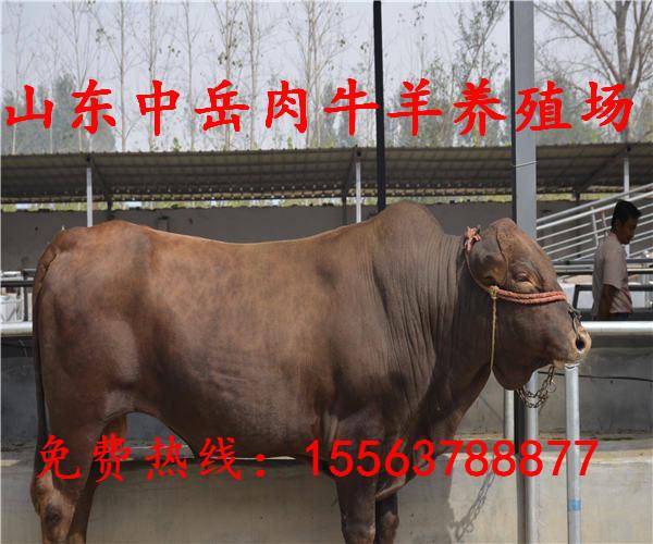 贡觉县西门塔尔牛养殖效益大量批发西门塔尔牛肉牛犊