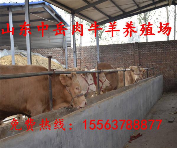 东风区改良肉牛犊养殖场出售成品牛肉牛养殖技术黄牛苗