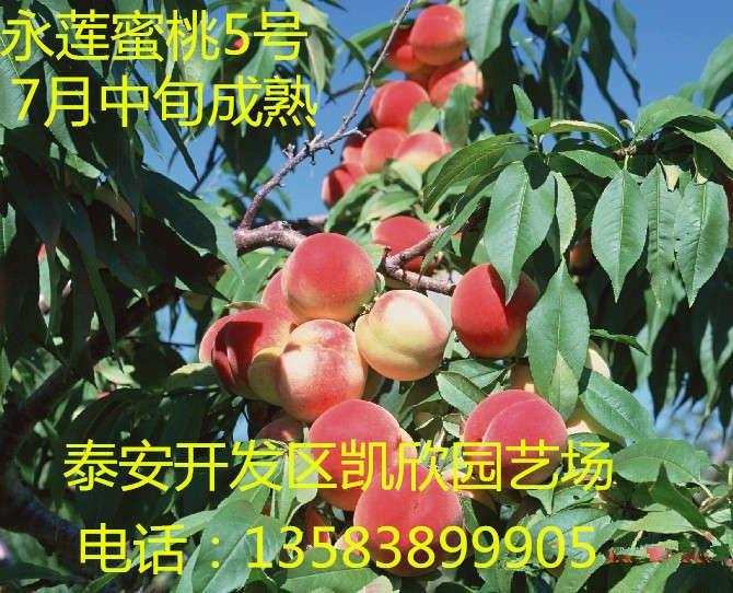 北京8号嫁接桃苗行情