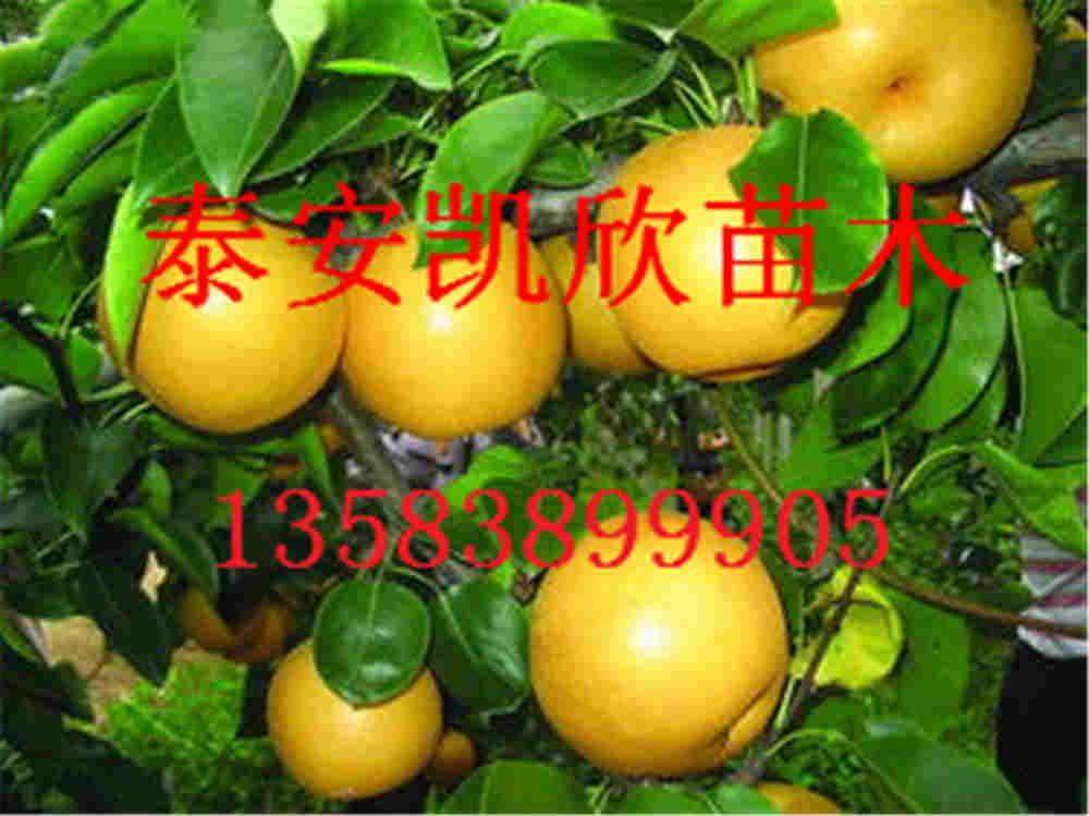 4-7公分黄金梨梨小苗基地