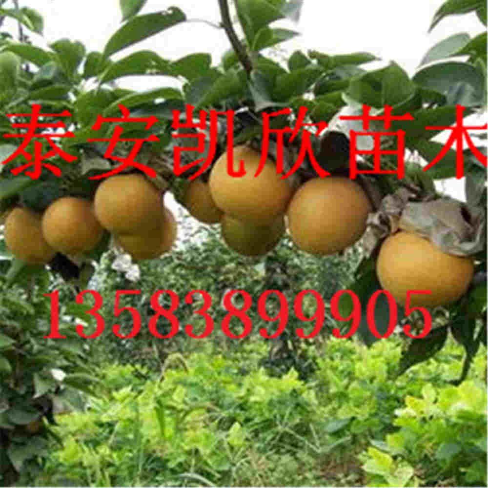 黄金梨品种梨苗介绍山东