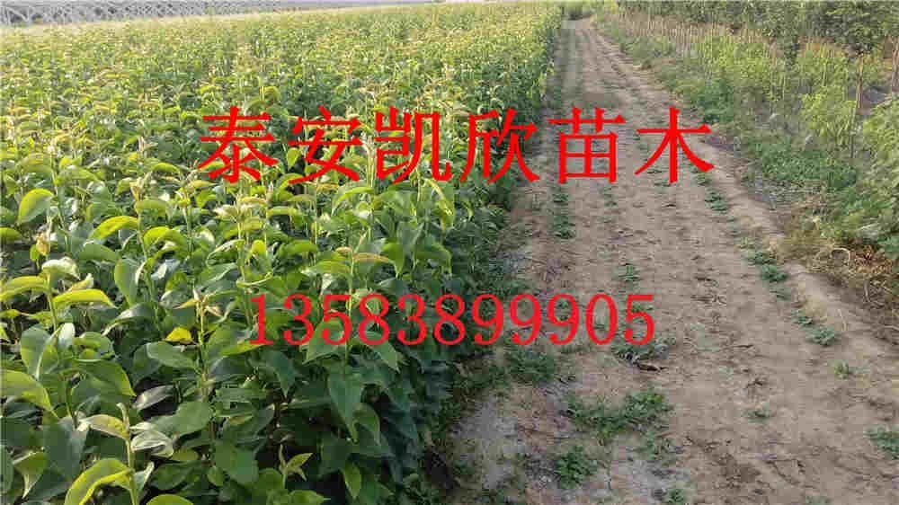 1.5公分黄金梨梨小苗基地