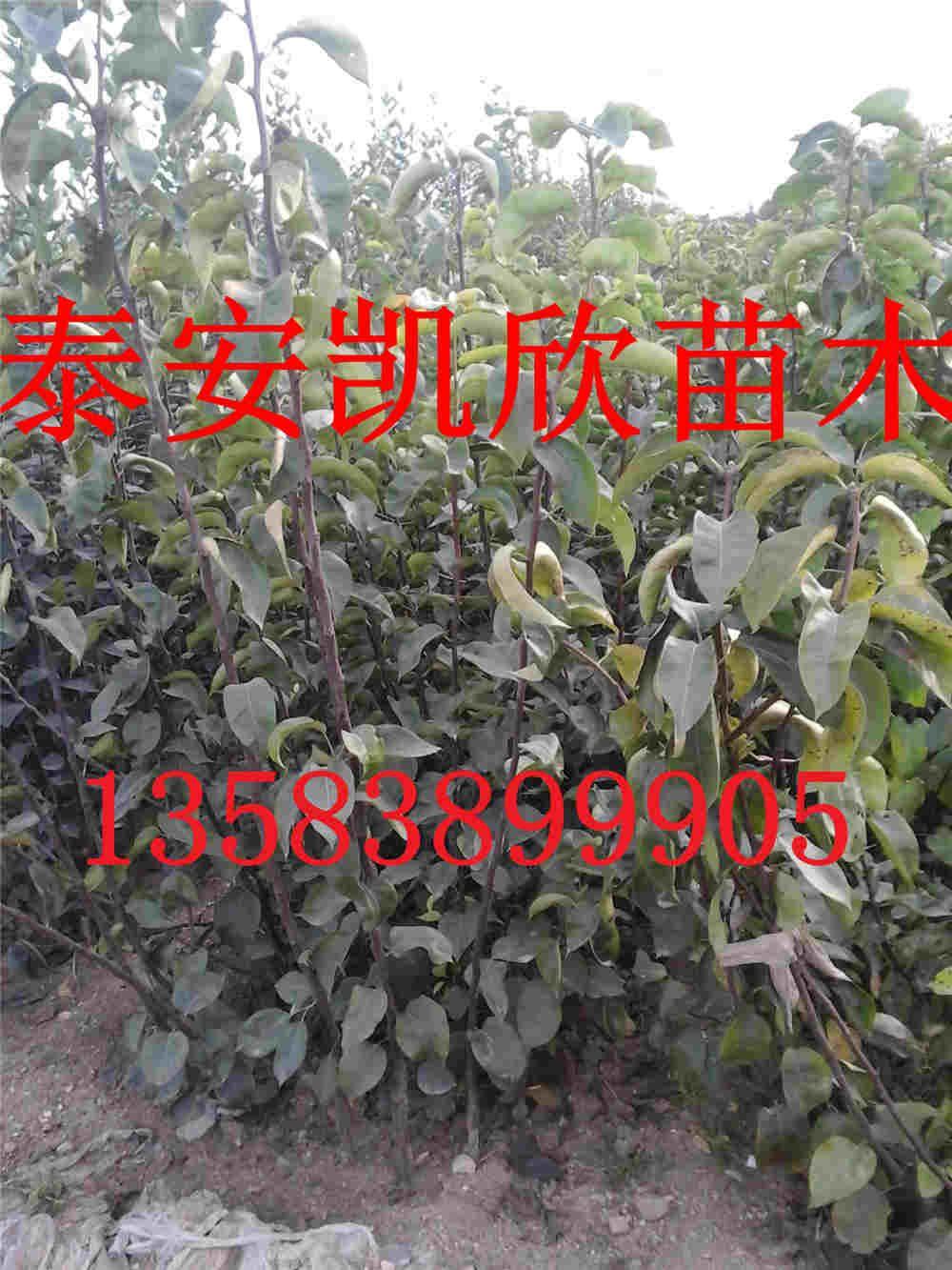 出销黄金梨品种梨苗介绍