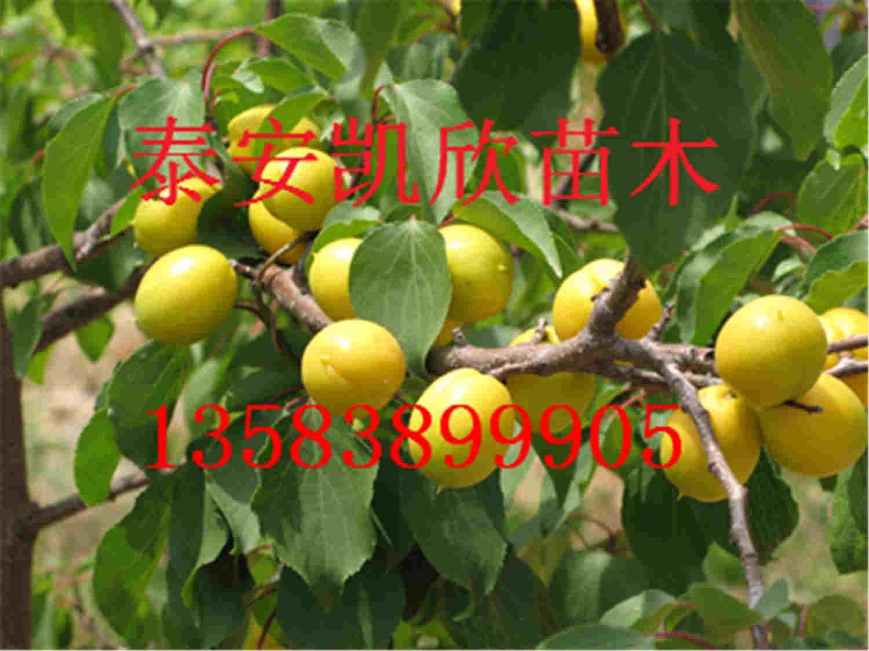 杏树叶logo