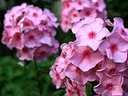 潍坊有哪几家名声好的福禄考基地宿根花卉种植基地