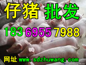 船山区今日苗猪供应