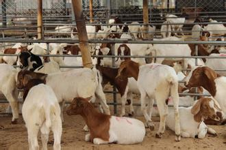 济宁波尔山羊、波尔山羊养殖、波尔山羊养殖技术
