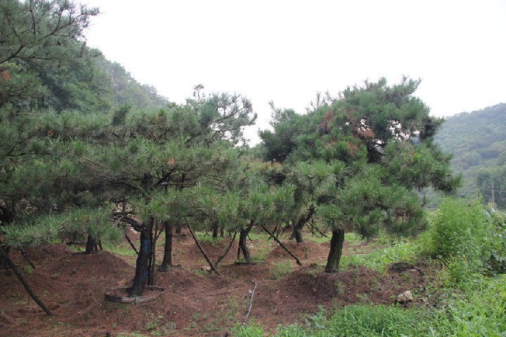 易�N植的造型油松 造型油松哪里有