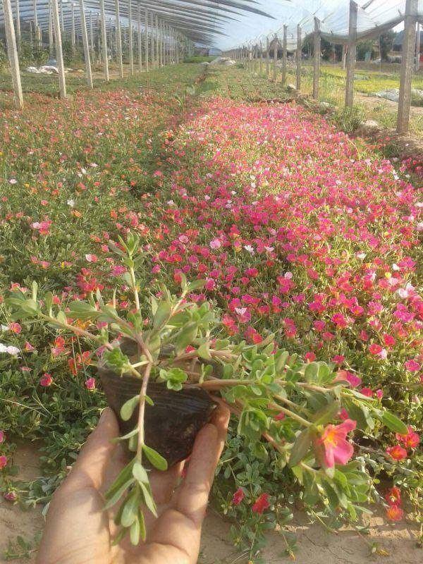 壁纸 成片种植 风景 花 植物 种植基地 桌面 600_800 竖版 竖屏 手机