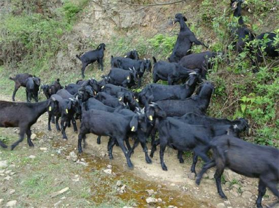 蒲江�h哪里有�u黑山羊的多少�X一斤