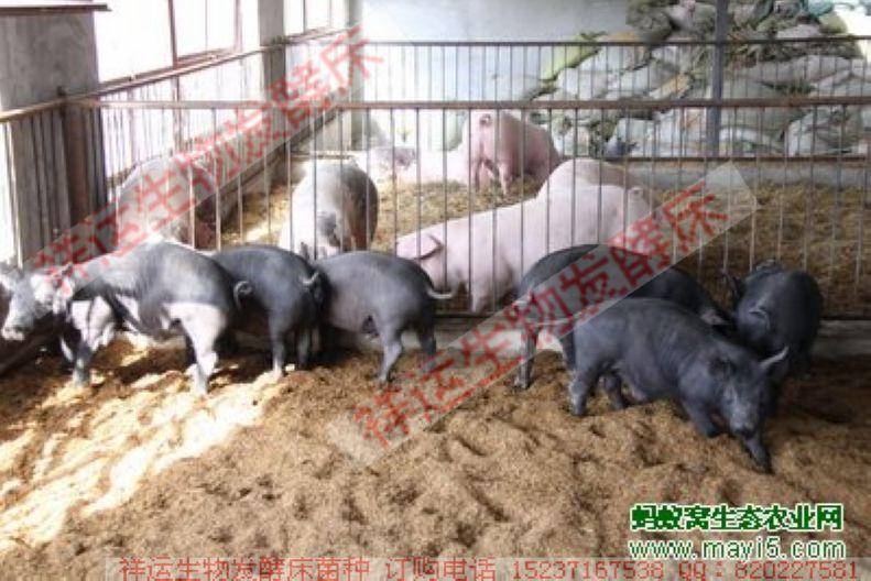 学习发酵床养猪有哪些好处