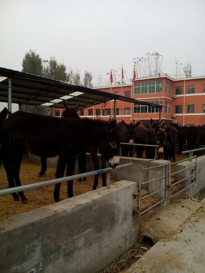 丰都县龙河镇现在肉牛犊价格