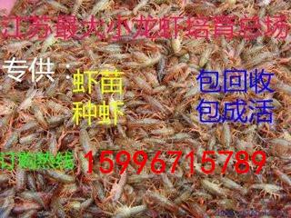 小龙虾苗出售现在养殖小龙虾晚不晚 龙虾苗多少钱一斤