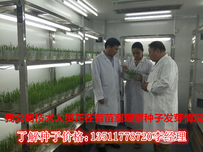 哪里有卖金钱柳种子多少钱一斤亩用量多少