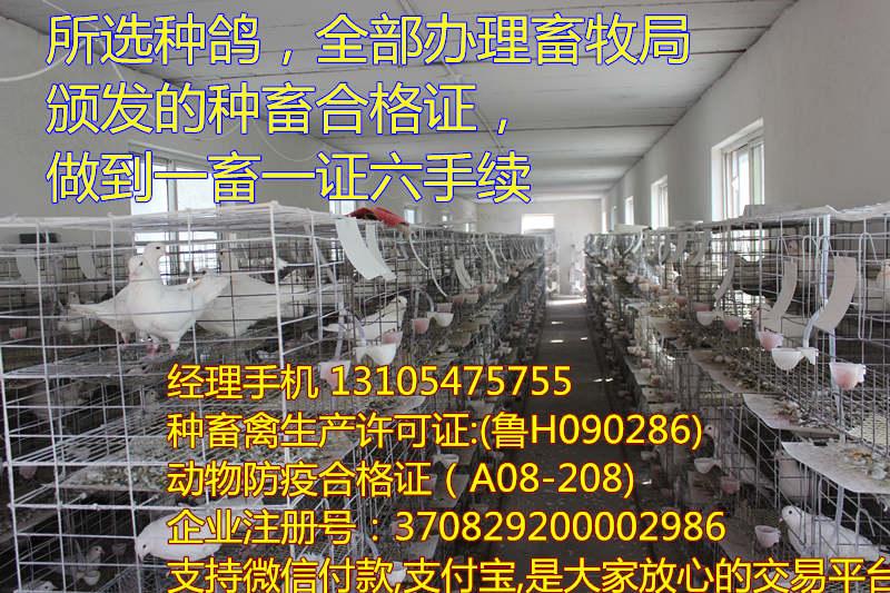元宝鸽厂家直销重庆