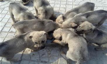 清徐县哪里有肉食狗养殖场招商