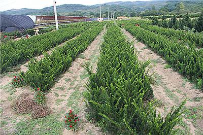 东北红豆杉、东北红豆杉小苗