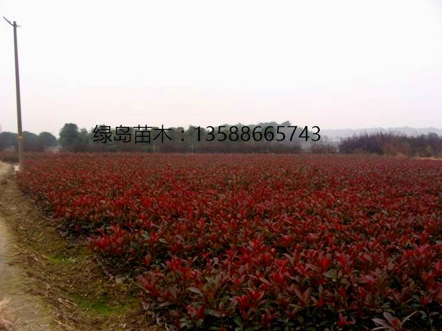 供应红叶石楠小苗、30公分大量浙江金华红叶石楠小杯苗生产商