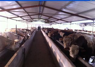 咸宁肉牛、咸宁肉牛场、咸宁肉牛养殖场 、咸宁肉牛基地