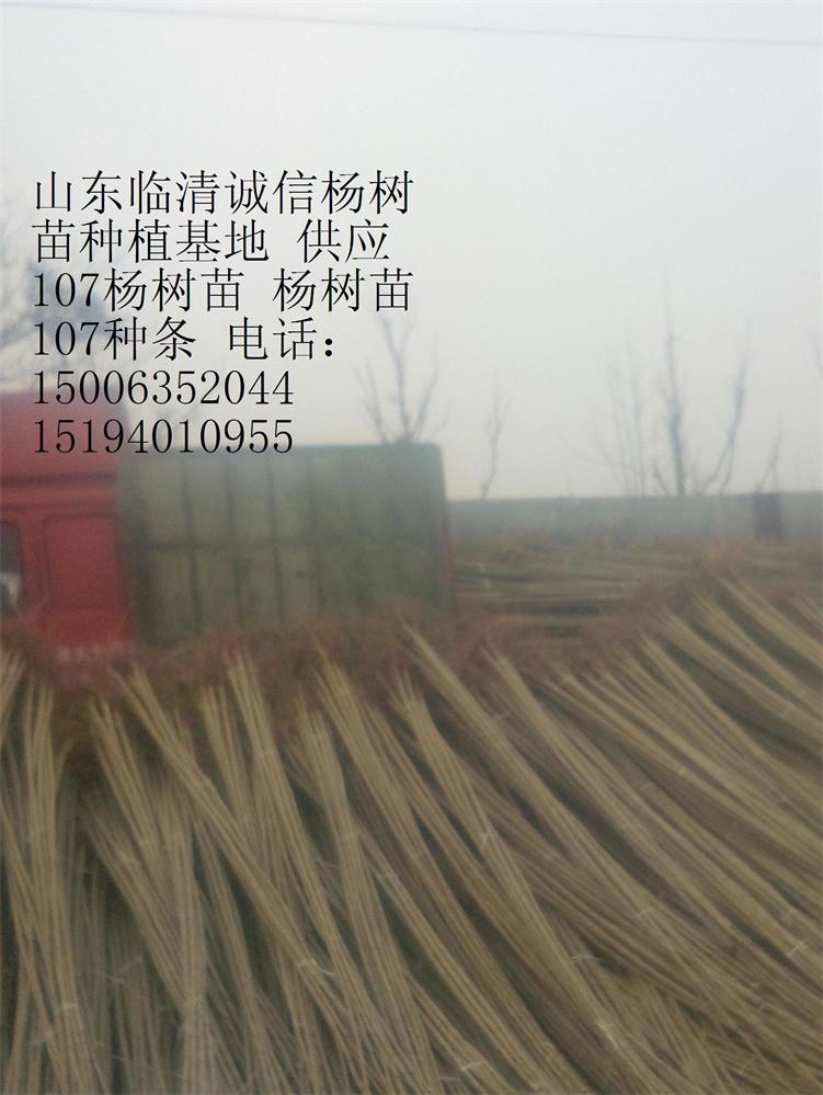 供应107杨树苗、107速生杨、杨树苗插条